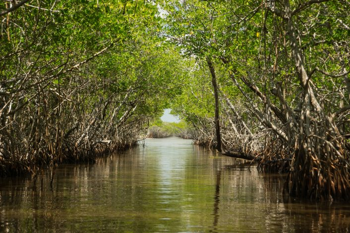 Mangrove tunnel in Everglades national park Florida US