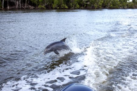 dolphin in everglades florida adventures