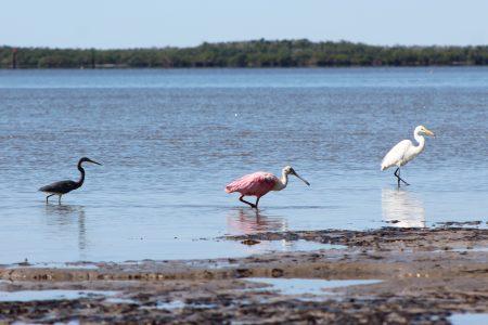 birds in everglades city