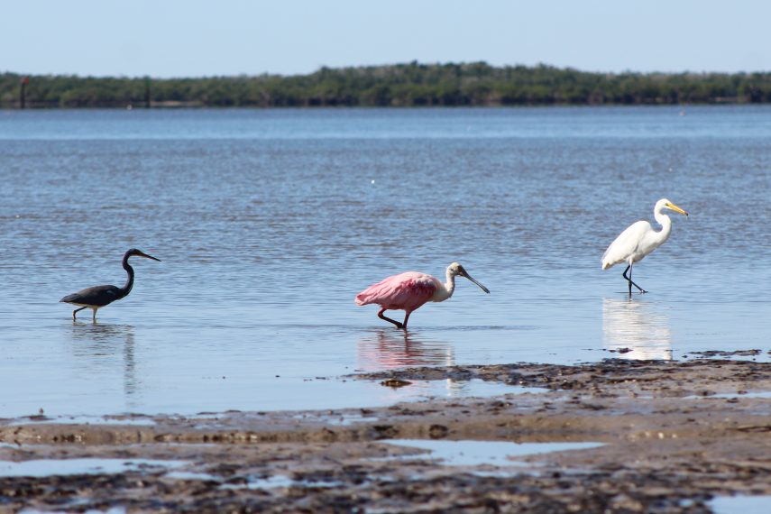 birds in everglades city